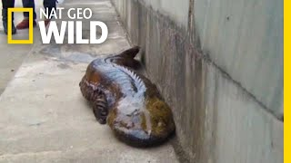 At Least Five New Giant Salamander Species Identified | Nat Geo Wild