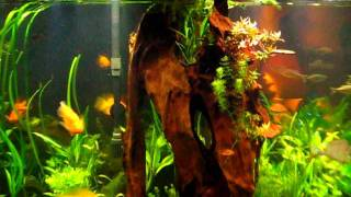 220 Gallon Tropical Aquarium Live Plants And Malaysian Drift Wood