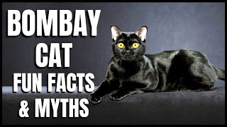 Bombay Cat 101: Fun Facts & Myths