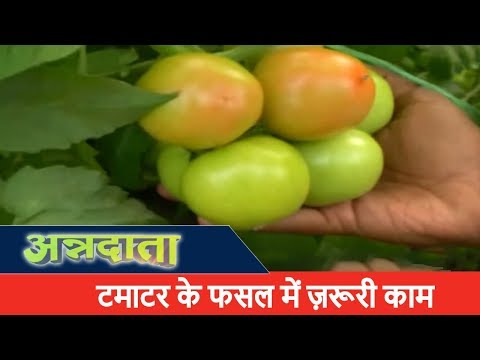 Tomato Harvesting in India | Tomato Farming in India | Annadata | ETV UP Uttarakhand