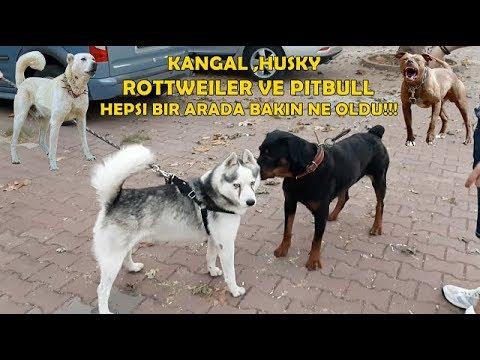 Amstaff Ve Rottweiler İle Sokak Köpeklerinin Arasına Girdik - Husky , Kangal ,  Kafkas Bir Arada