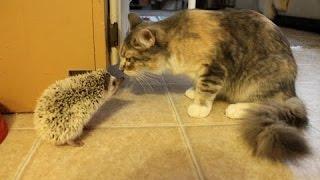 Симпатичная кошка и котенок встречает ежа - милые животные видео сборник