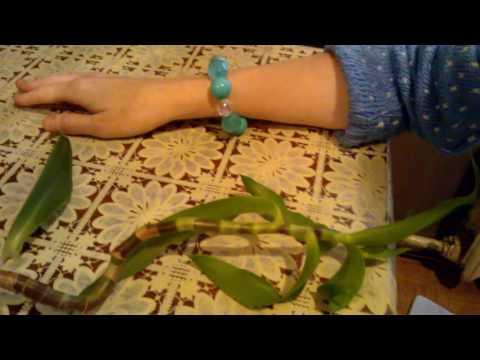 Золотой ус: уход, выращивание, пересадка, применение