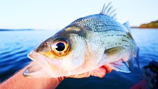 How to Catch BAZILLIONS of White Bass