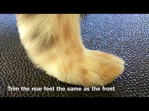 Trimming Shetland Sheepdog Feet