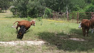 Rottweiler herding cows.. first day training