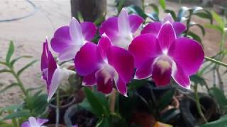 Purple Dendrobium Orchids Flowers