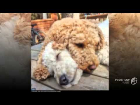 Double Doodle Dog breed