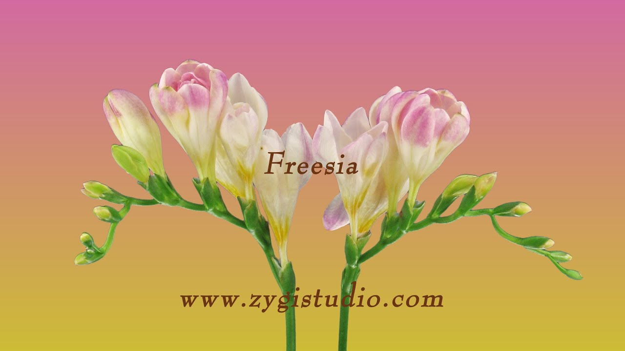 Timelapse of opening pink freesia flower buds youtube timelapse of opening pink freesia flower buds mightylinksfo