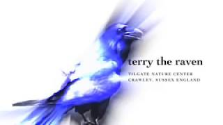 Terry the Talking Raven