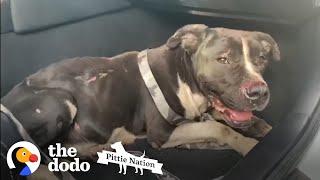 Sweetest Pittie Was Living Under A Jeep | The Dodo Pittie Nation