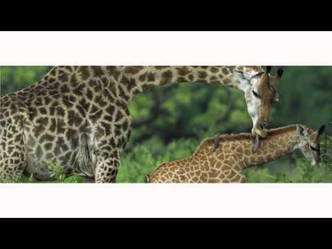 Giraffe Legs' Strong, Skinny Secret