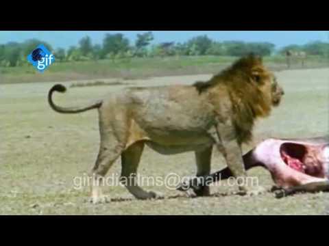 बब्बर शेर की ताकत पहले कभी देखी नहीं होगी Asiatic Lion's power will be never seen before