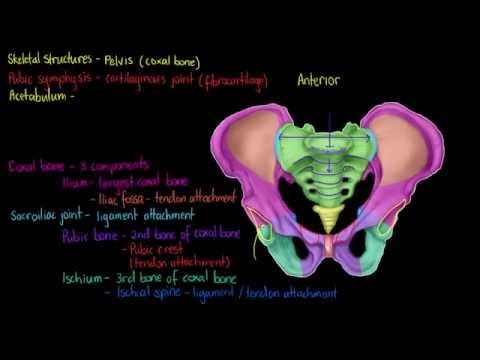 Skeletal Structures- The Pelvis