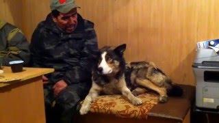 Послушная чукотская собака