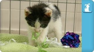 Cutest Oreo Kitten Wrapped up With Ribbon - Kitten Love