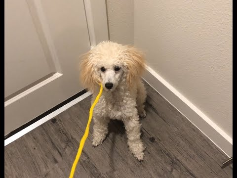 7-Month Old Miniature Poodle Puppy Excited To Go For A Walk