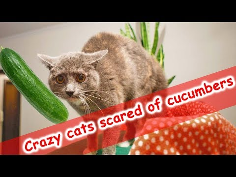 CRAZY FUNNY CATS SCARED of cucumbers (Cat vs Cucumber Compilation)