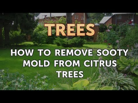 How To Remove Sooty Mold From Citrus Trees Youtube