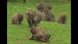 Primatenforschung in Kärnten ORF Thema