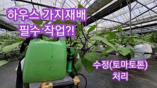 비닐하우스 가지재배 수정(생장조정제 처리) 작업