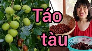 Cách trồng táo tàu sai trái ( Người Việt ở Mỹ )