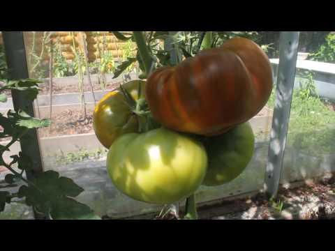 Томат Челнок помидоры без особых забот