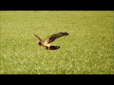 Northern Harriers Hunting (HD)