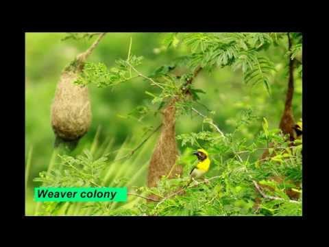 Weavers Bird