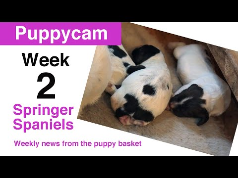 Springer Spaniel Puppies | The pups are growing fast at 10 days old