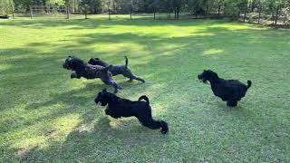 E Revo Vs 5 Kerry Blue Terriers