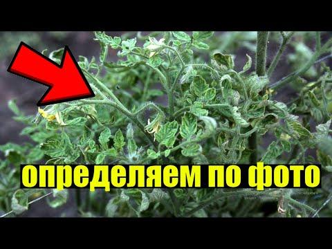 САМЫЕ СТРАШНЫЕ БОЛЕЗНИ ТОМАТОВ! КАК ОПРЕДЕЛИТЬ И КАК БОРОТЬСЯ   пятнистость   фитофтороз   томатов   теплица   рассада   помидор   желтеют   болезни   томаты   томата