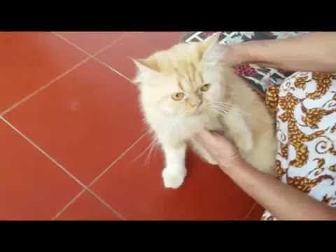 Queen Fluffy Cat, Turkish Angora, Felis catus
