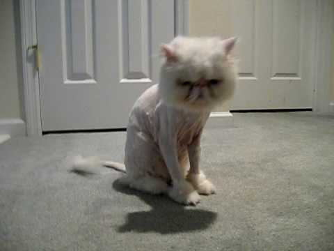 When should a persian cat be shaved