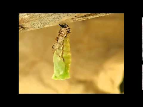 Kamehameha butterfly (Vanessa tameamea) moulting into a chrysalis