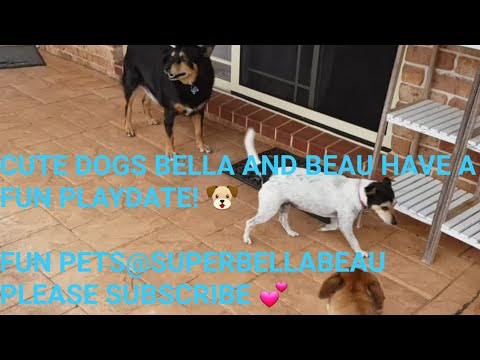 CUTE DOGS BELLA AND BEAU HAVE A PLAYDATE WITH MOLLY 💕