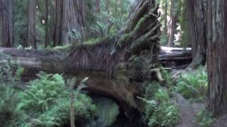 Montgomery Woods State Reserve - Mendocino County CA