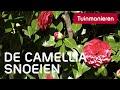 Hoe snoei je de camellia, camelia, Japanse roos? mp3 indir
