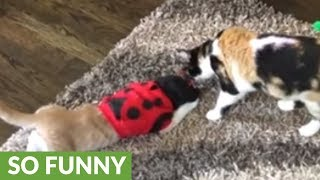 Cat very embarrassed with ladybug outfit