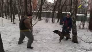 Собака для охраны,  давление до хватки и мягкая работа фигуранта на хватке