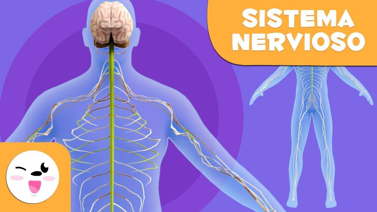 El Sistema Nervioso El Cuerpo Humano Para Niños