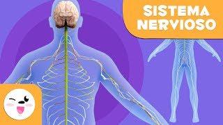 En el nervios cuerpo humano los