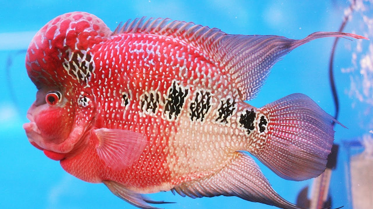 Flowerhorn Cichlids Fish Tips and Care Guide (Tamil) - YouTube