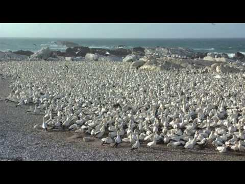 Cape gannets at nesting colony, South Africa.