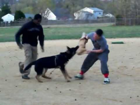 first-stages-of-protection-dog-training