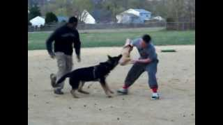 First Stages Of Protection Dog Training