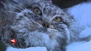 Кот манул и наука. Даурия. Дикая природа России.