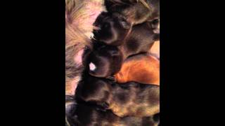 Newborn Akc Liver (chocolate) Shih Tzu Puppies Nursing