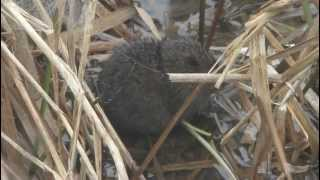 Water Vole (Arvicola terrestris) at Pulborough Brooks RSPB Reserve 0889