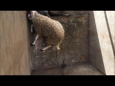 شاهد كبش يريد أن يتسلق في الحائط - عيد الأضحى 2018